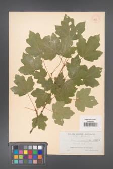 Acer campestre [KOR 133]
