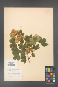 Acer campestre [KOR 11307]
