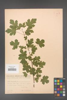 Acer campestre [KOR 11289]