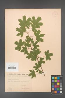 Acer campestre [KOR 11288]