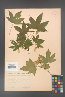 Acer campestre [KOR 11292]