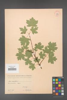 Acer campestre [KOR 38899]