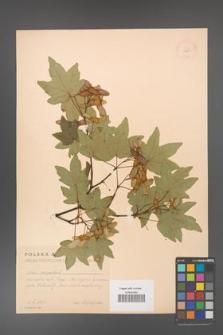Acer campestre [KOR 11291]