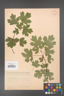 Acer campestre [KOR 38887]