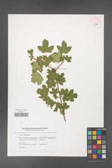 Acer campestre [KOR 45602]