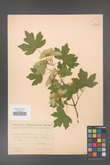 Acer campestre [KOR 38906]
