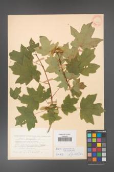 Acer campestre [KOR 11336]