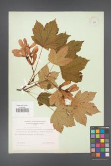 Acer pseudoplatanus [KOR 8977]