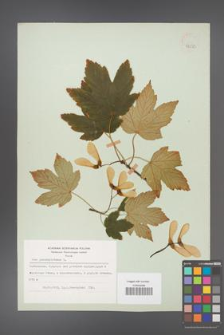 Acer pseudoplatanus [KOR 48252]