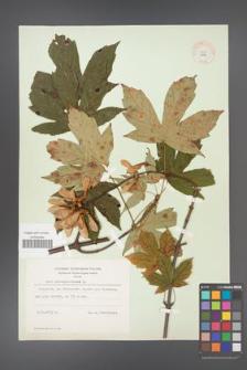 Acer pseudoplatanus [KOR 8996]
