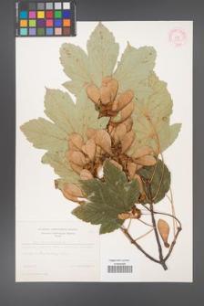 Acer pseudoplatanus [KOR 8982]