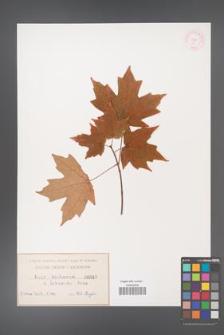 Acer sacharum [KOR 48]