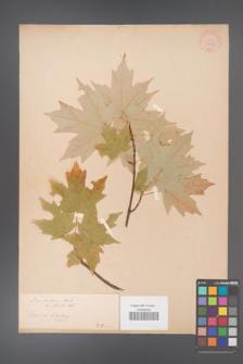 Acer saccharum [KOR 33633]