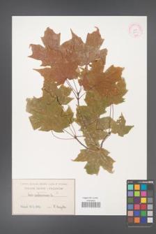 Acer saccharum [KOR 33614]