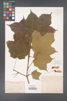 Acer saccharum [KOR 33627]