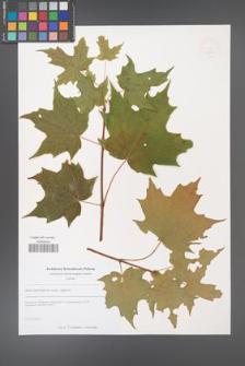 Acer saccharum [KOR 49252]