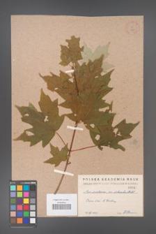 Acer saccharum [KOR 47]
