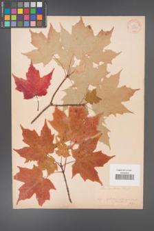 Acer saccharum [KOR 33634]