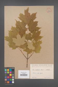 Acer saccharum [KOR 42b]