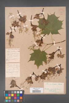 Acer saccharum [KOR 33625]