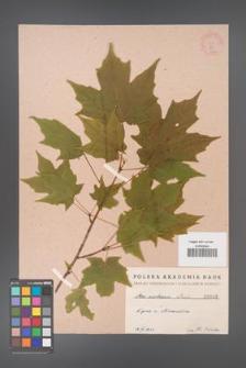 Acer saccharum [KOR 43]