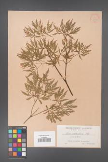 Acer palmatum [KOR 33477]