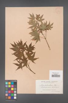 Acer palmatum [KOR 33481]