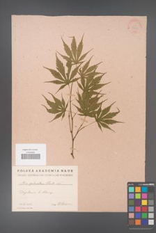 Acer palmatum [KOR 33461]