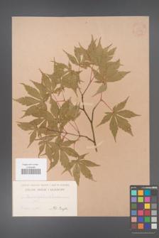 Acer palmatum [KOR 33464]
