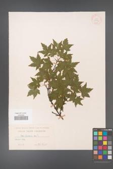 Acer palmatum [KOR 33463]