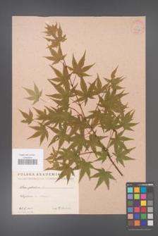 Acer palmatum [KOR 33474]