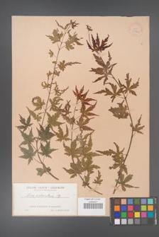 Acer palmatum [KOR 33472]