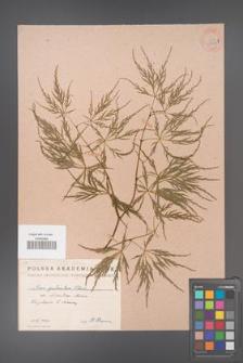 Acer palmatum [KOR 33485b]