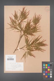 Acer palmatum [KOR 33485a]