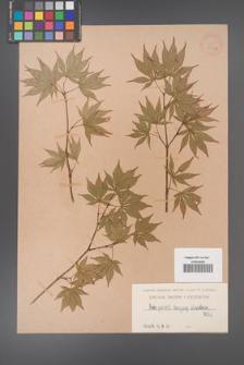 Acer palmat. [palmatum] [KOR 9033a]
