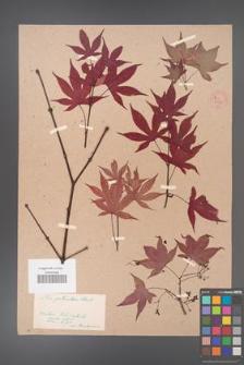 Acer palmatum [KOR 33489]