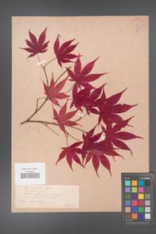 Acer palmatum [KOR 33490]