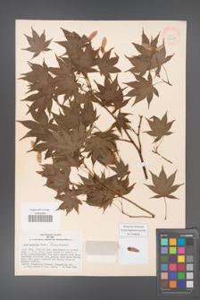 Acer palmatum [KOR 33497]
