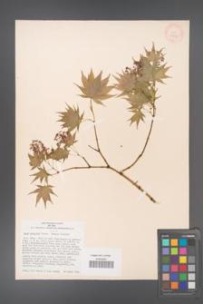 Acer palmatum [KOR 33498]
