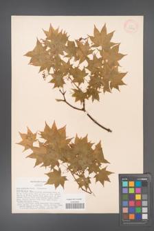 Acer palmatum [KOR 33496]