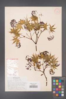 Acer palmatum [KOR 33488]