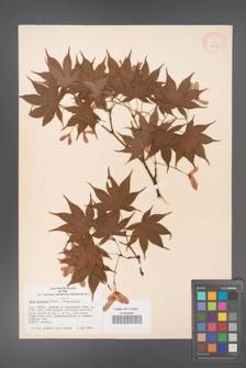 Acer palmatum [KOR 33495]
