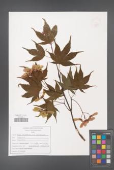 Acer palmatum [KOR 47575]