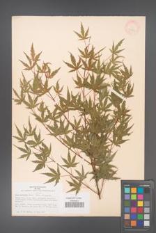 Acer palmatum [KOR 33504]