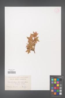 Acer palmatum [KOR 33509]