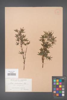 Acer palmatum [KOR 33507]