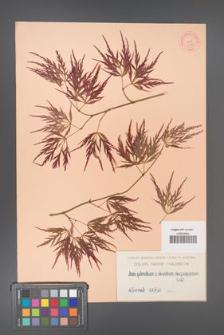 Acer palmatum [KOR 7459]