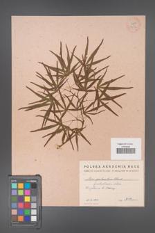 Acer palmatum [KOR 33516]