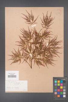 Acer palmatum [KOR 33515]