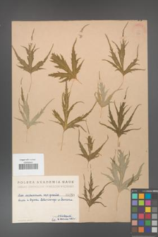 Acer saccharinum [KOR 250]